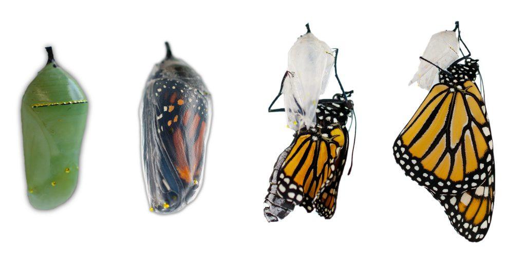 Monarch emergence. Photo: Becky Hansis O'Neill