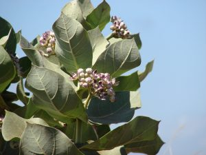 Crownflower (Calotropis procera). Photo: Forest and Kim Starr/flickr. CC BY 2.0.