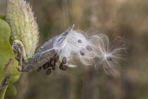 asclepias-speciosa_ed-ogle_flickr