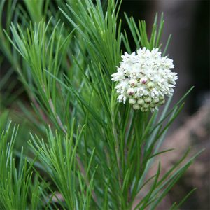 Pine needle milkweed (A. linaria) has smooth, linear leaves. Photo: Michael Wolf